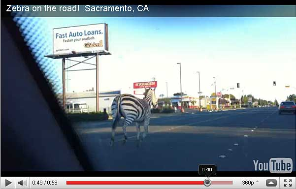 Zebra near our clinic in Carmichael